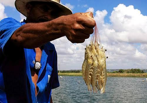 Governo discute a criação de centro de produção de camarão